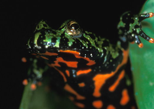 Photo of a fire-bellied toad