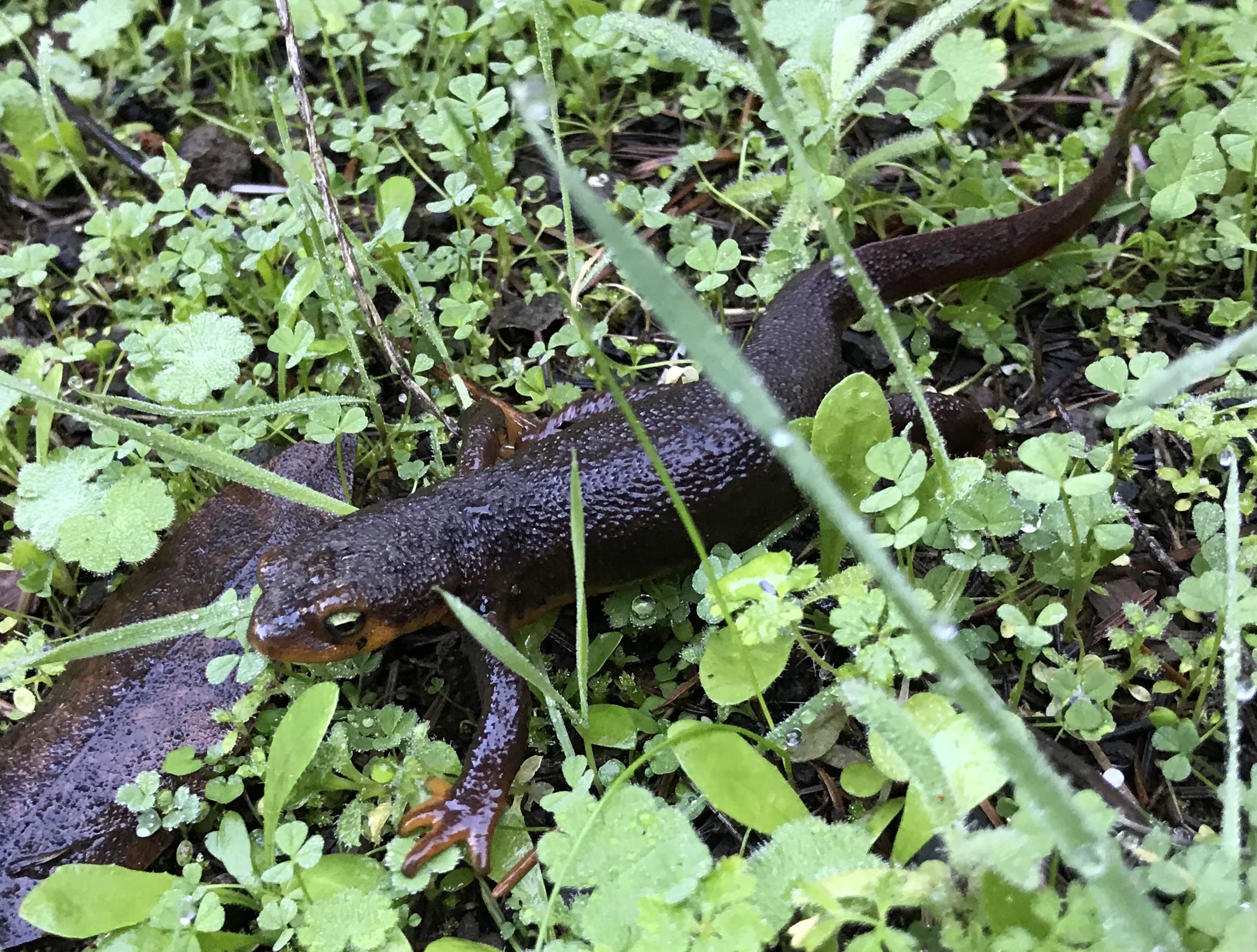 Photo of a migrating California newt (<em>Taricha torosa</em>). Photo credit: Tiffany Yap</small></center>